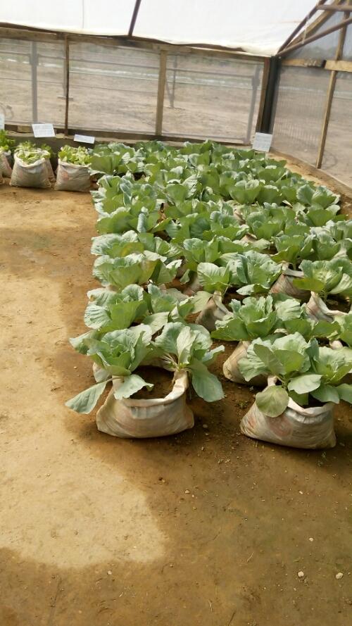 How To Grow Cabbage Profitably In Nigeria Farm Rite With Yinka