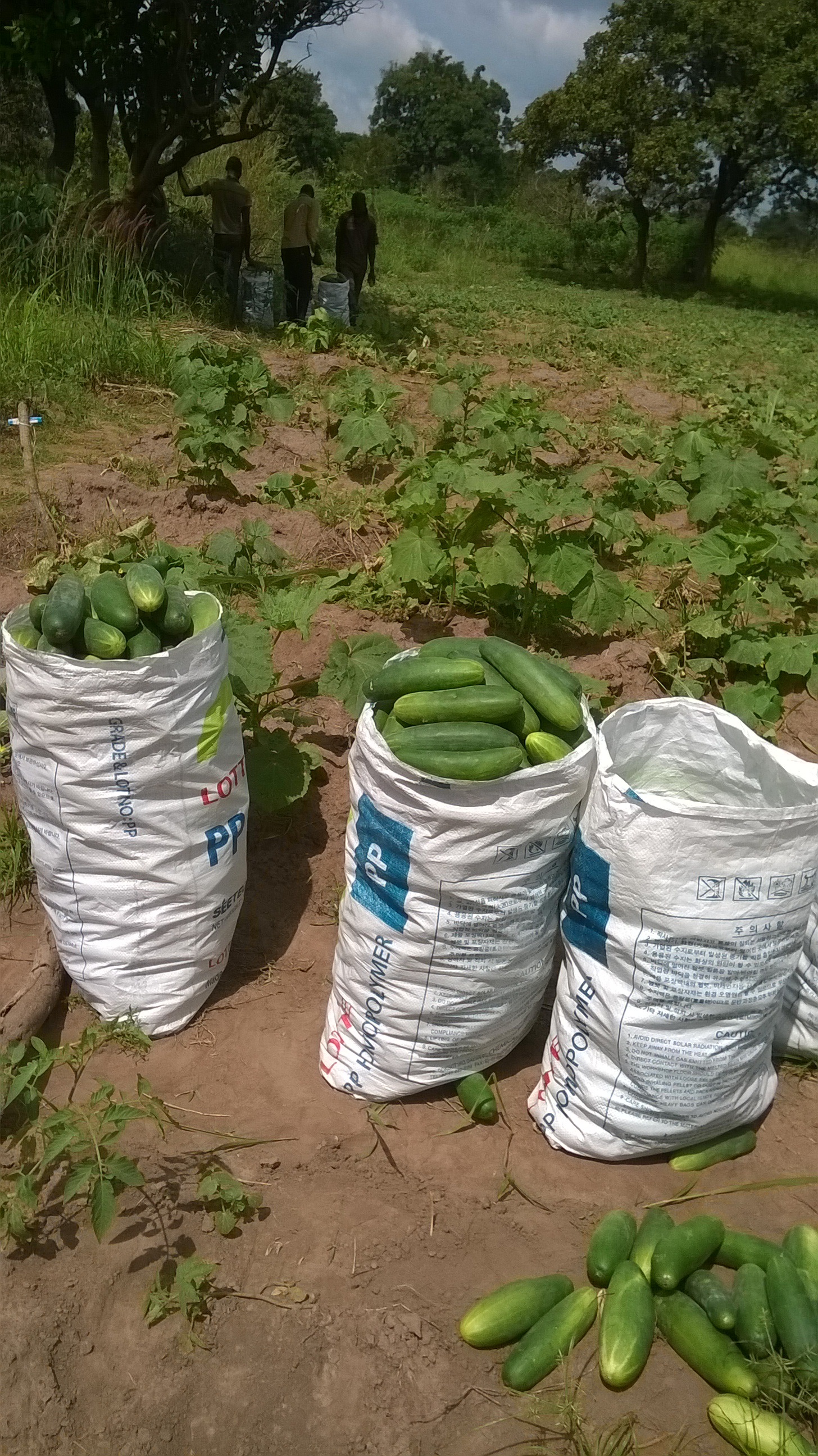 How to make millions on cucumbers
